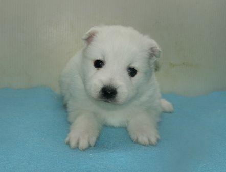日本スピッツの子犬(ID:1252911241)の3枚目の写真/更新日:2018-02-19