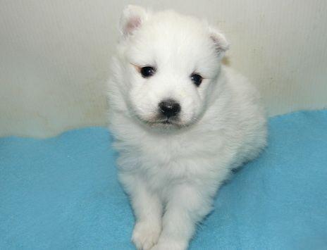 日本スピッツの子犬(ID:1252911242)の1枚目の写真/更新日:2018-02-19