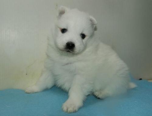 日本スピッツの子犬(ID:1252911242)の2枚目の写真/更新日:2018-02-19