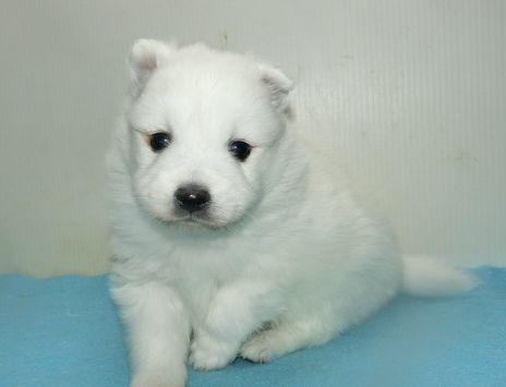 日本スピッツの子犬(ID:1252911242)の3枚目の写真/更新日:2018-02-19