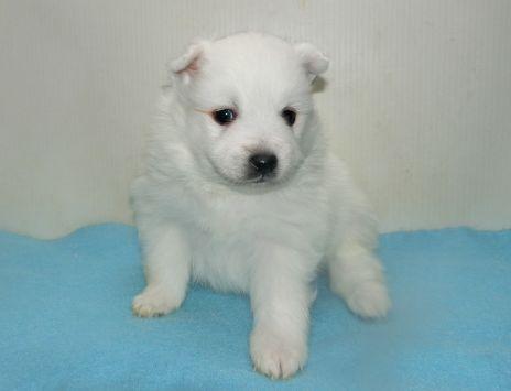 日本スピッツの子犬(ID:1252911243)の2枚目の写真/更新日:2018-02-19