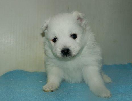 日本スピッツの子犬(ID:1252911243)の3枚目の写真/更新日:2018-02-19