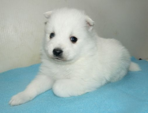 日本スピッツの子犬(ID:1252911244)の1枚目の写真/更新日:2018-02-19