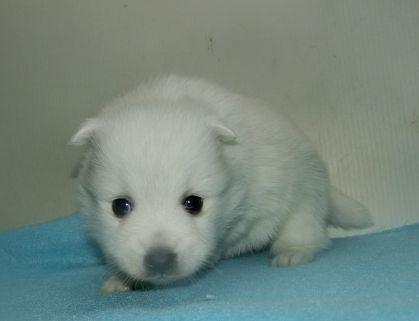 日本スピッツの子犬(ID:1252911244)の2枚目の写真/更新日:2018-02-19