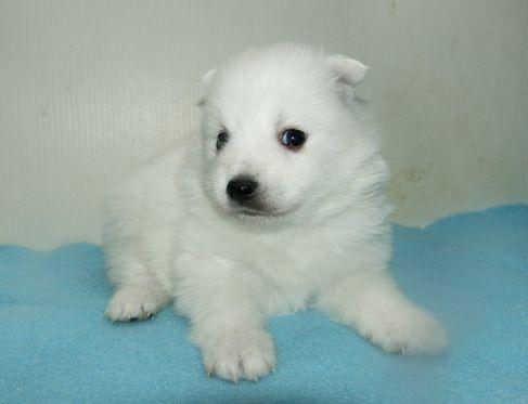 日本スピッツの子犬(ID:1252911244)の3枚目の写真/更新日:2018-02-19