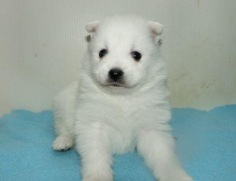 日本スピッツの子犬(ID:1252911244)の4枚目の写真/更新日:2018-02-19