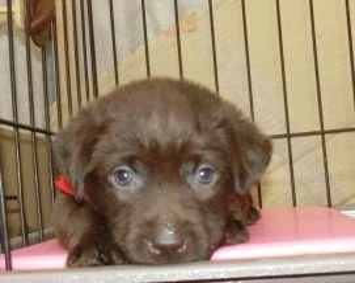 ラブラドールレトリバーの子犬(ID:1252911245)の2枚目の写真/更新日:2018-03-19