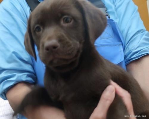 ラブラドールレトリバーの子犬(ID:1252911245)の3枚目の写真/更新日:2021-03-14