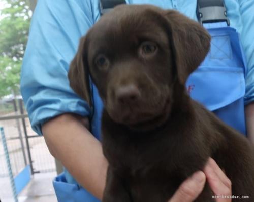 ラブラドールレトリバーの子犬(ID:1252911245)の4枚目の写真/更新日:2021-03-14