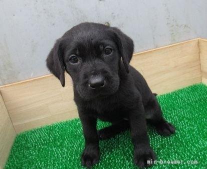 ラブラドールレトリバーの子犬(ID:1252911246)の1枚目の写真/更新日:2021-10-04