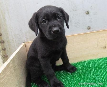 ラブラドールレトリバーの子犬(ID:1252911246)の2枚目の写真/更新日:2018-03-19