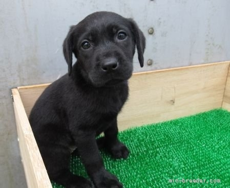 ラブラドールレトリバーの子犬(ID:1252911246)の3枚目の写真/更新日:2021-10-04