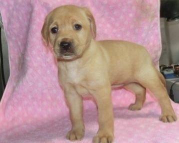ラブラドールレトリバーの子犬(ID:1252911247)の1枚目の写真/更新日:2018-04-02