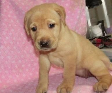 ラブラドールレトリバーの子犬(ID:1252911247)の3枚目の写真/更新日:2018-04-02