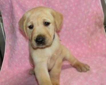 ラブラドールレトリバーの子犬(ID:1252911248)の1枚目の写真/更新日:2018-04-02