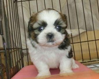 シーズーの子犬(ID:1252911250)の1枚目の写真/更新日:2018-04-27