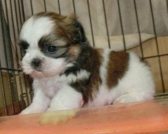 シーズーの子犬(ID:1252911250)の2枚目の写真/更新日:2020-04-27