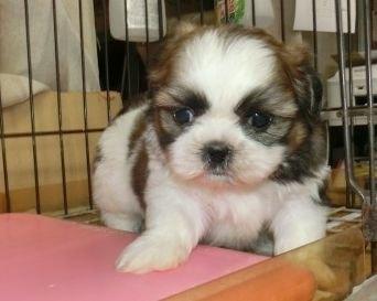 シーズーの子犬(ID:1252911250)の3枚目の写真/更新日:2020-04-27