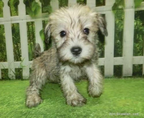 ミニチュアシュナウザーの子犬(ID:1252911253)の1枚目の写真/更新日:2021-10-11