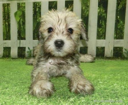 ミニチュアシュナウザーの子犬(ID:1252911253)の2枚目の写真/更新日:2021-10-11