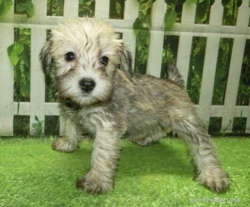 ミニチュアシュナウザーの子犬(ID:1252911253)の3枚目の写真/更新日:2021-10-11