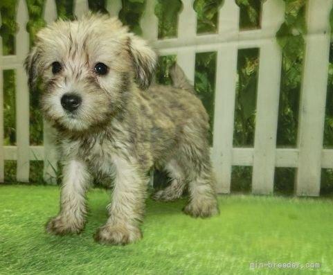 ミニチュアシュナウザーの子犬(ID:1252911253)の4枚目の写真/更新日:2021-10-11