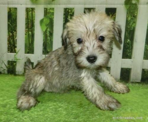 ミニチュアシュナウザーの子犬(ID:1252911253)の5枚目の写真/更新日:2021-10-11