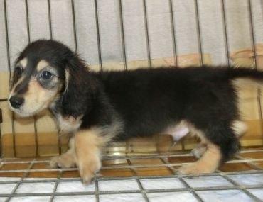 ミニチュアダックスフンド(ロング)の子犬(ID:1252911255)の3枚目の写真/更新日:2018-06-21
