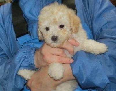 トイプードルの子犬(ID:1252911256)の1枚目の写真/更新日:2019-06-18