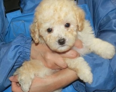 トイプードルの子犬(ID:1252911256)の2枚目の写真/更新日:2019-06-18