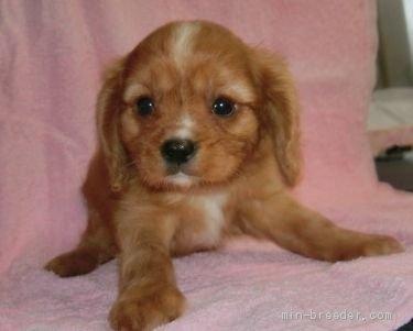 キャバリアの子犬(ID:1252911257)の1枚目の写真/更新日:2018-06-01
