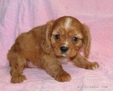 キャバリアの子犬(ID:1252911257)の2枚目の写真/更新日:2018-06-01