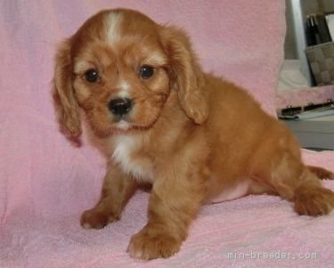 キャバリアの子犬(ID:1252911257)の3枚目の写真/更新日:2018-06-01