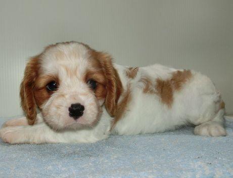 キャバリアの子犬(ID:1252911258)の1枚目の写真/更新日:2018-06-01