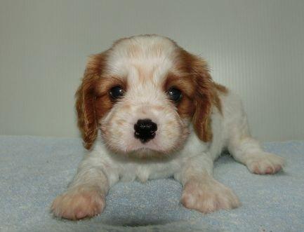 キャバリアの子犬(ID:1252911258)の2枚目の写真/更新日:2018-06-01
