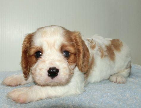 キャバリアの子犬(ID:1252911258)の3枚目の写真/更新日:2018-06-01