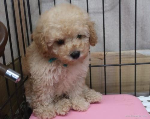 トイプードルの子犬(ID:1252911266)の2枚目の写真/更新日:2021-08-24