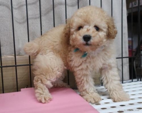 トイプードルの子犬(ID:1252911266)の3枚目の写真/更新日:2021-08-24