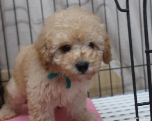 トイプードルの子犬(ID:1252911266)の4枚目の写真/更新日:2021-08-24
