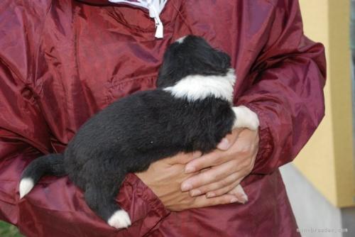 ボーダーコリーの子犬(ID:1253011019)の3枚目の写真/更新日:2019-03-26