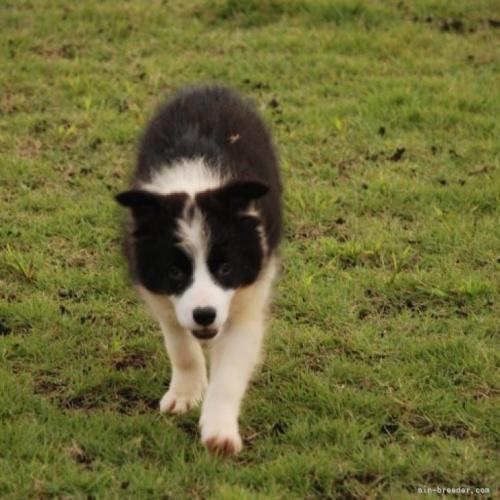 ボーダーコリーの子犬(ID:1253011026)の1枚目の写真/更新日:2018-07-11