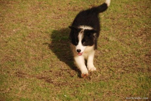 ボーダーコリーの子犬(ID:1253011026)の2枚目の写真/更新日:2018-06-12
