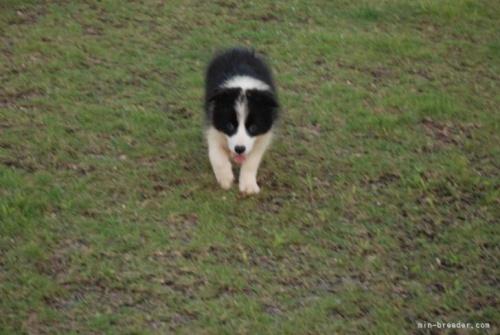 ボーダーコリーの子犬(ID:1253011026)の3枚目の写真/更新日:2018-07-11