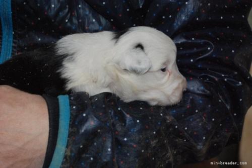 ボーダーコリーの子犬(ID:1253011035)の2枚目の写真/更新日:2019-08-19