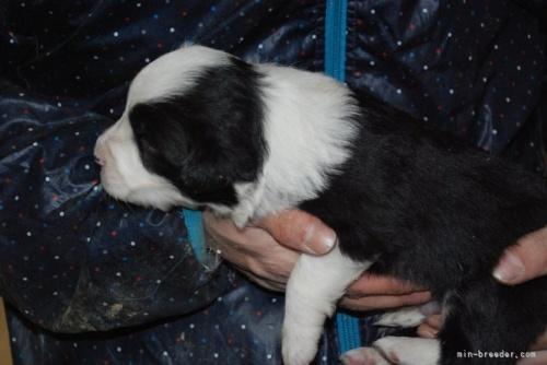ボーダーコリーの子犬(ID:1253011035)の3枚目の写真/更新日:2019-08-19