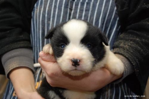 ボーダーコリーの子犬(ID:1253011038)の1枚目の写真/更新日:2019-04-22