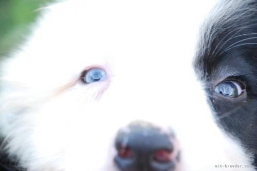 ボーダーコリーの子犬(ID:1253011044)の2枚目の写真/更新日:2019-07-18