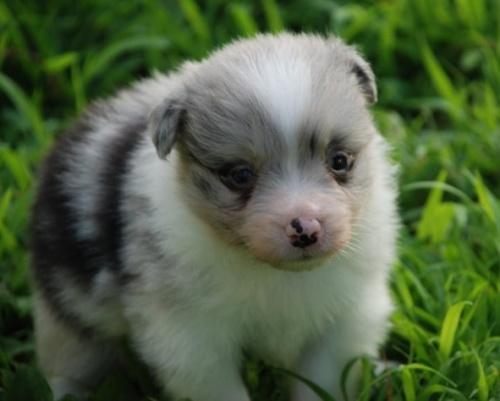 ボーダーコリーの子犬(ID:1253011046)の1枚目の写真/更新日:2016-12-10