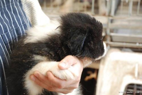 ボーダーコリーの子犬(ID:1253011047)の2枚目の写真/更新日:2016-12-14