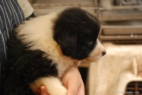 ボーダーコリーの子犬(ID:1253011048)の2枚目の写真/更新日:2017-01-12